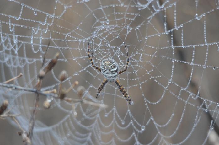 Argiope trifasciata (banded garden spider) (San Rafael, California, USA)
