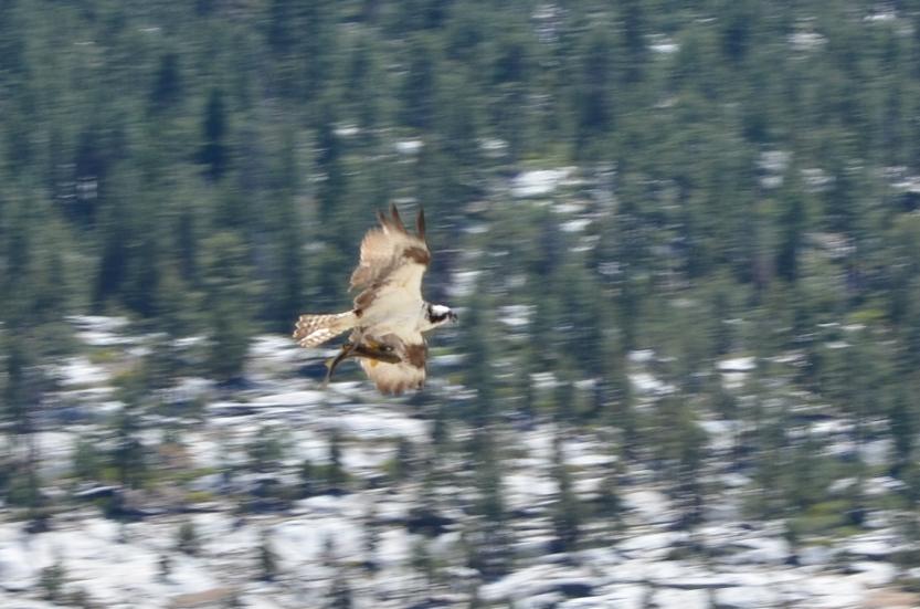 Pandion haliaetus (Osprey)