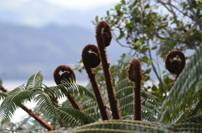 Cyathea dealbata (silver fern) (Coromandel Peninsula, New Zealand)