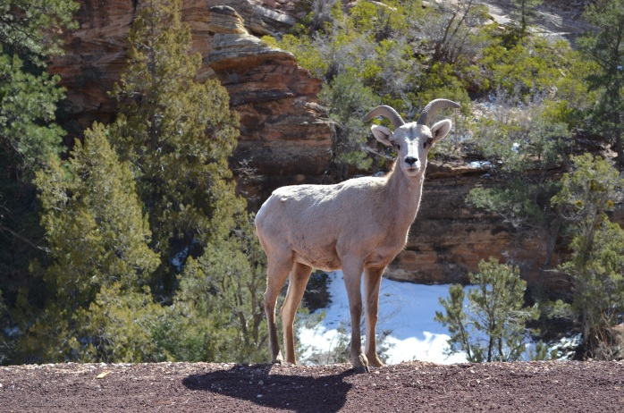 Ovis canadensis (Bighorn Sheep) (Zion National Park, Utah, USA)