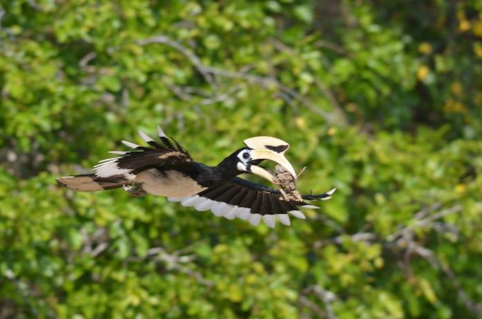 Anthracoceros albirostris (Oriental Pied Hornbill)