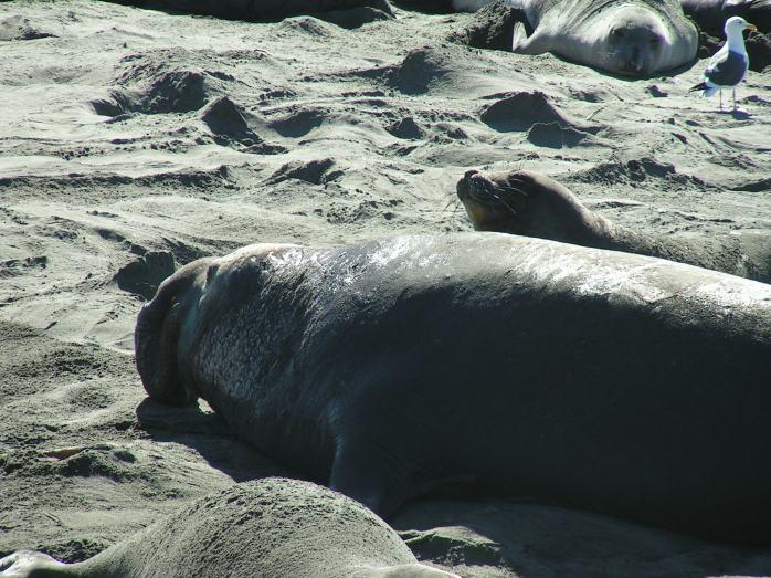 Mirounga angustirostris (Northern Elephant Seal) (San Simeon, California, USA)