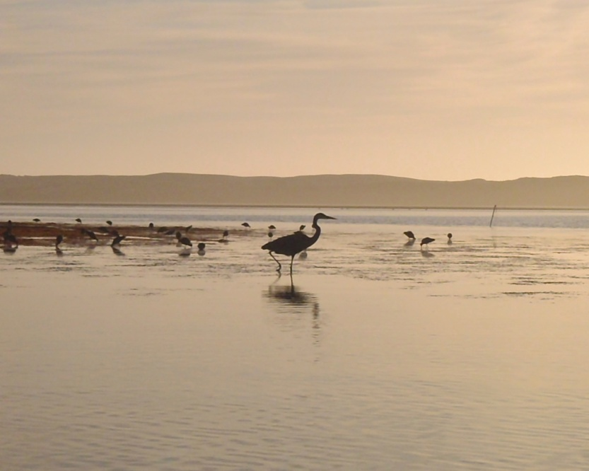 Great Egret (Ardea alba) at sunset in Morro Bay, California from a kayak