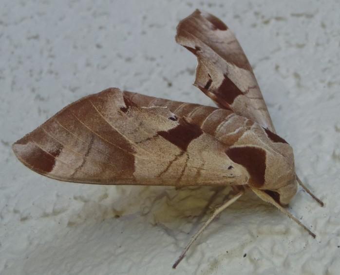 Eumorpha achemon (Achemon Sphinx Moth) (Paso Robles, California, USA)
