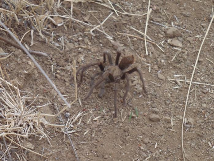 Aphonopelma eutylenum (California Ebony Tarantula) (Los Padres National Forest, California, USA)