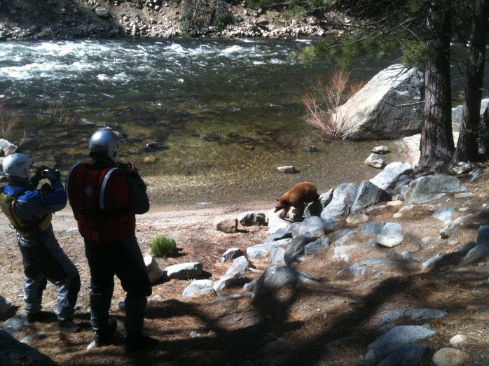 Ursus americanus (Black Bear) (Yosemite National Park, California, USA)