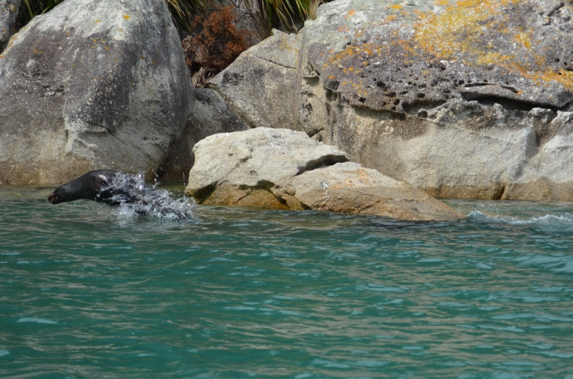 Arctocephalus forsteri (New Zealand Fur Seal) 002 - Version 2