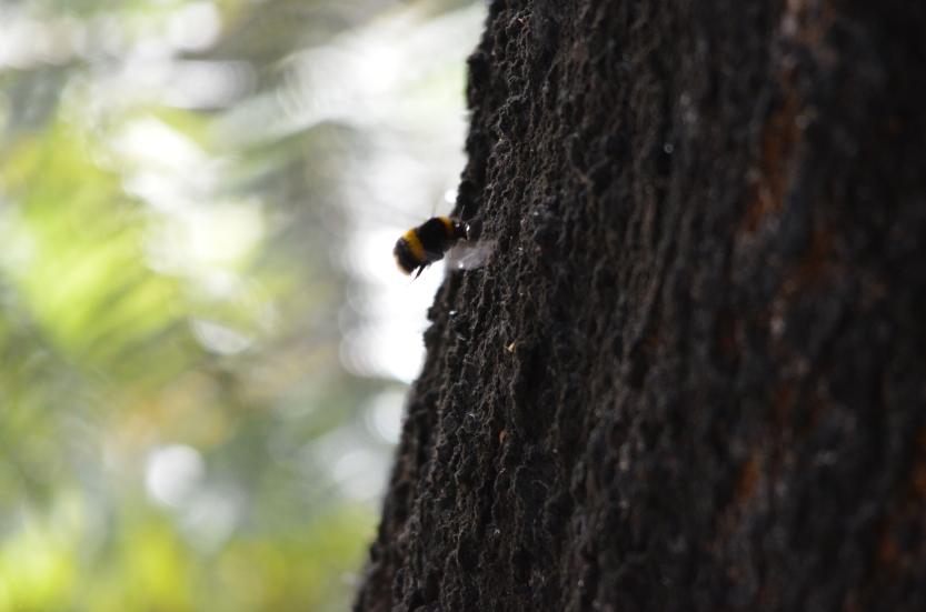 Bombus terrestris (Buff-tailed Bumblebee) 002