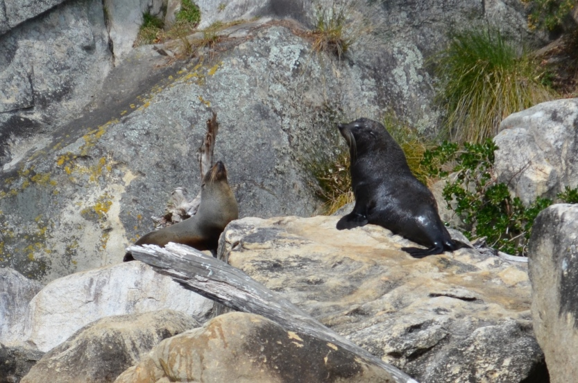 New Zealand Fur Seals (Arctocephalus forester) posing