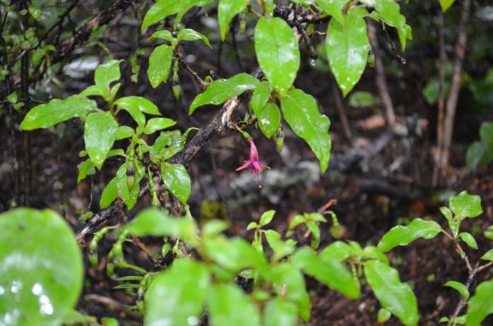 Fuchsia excortiata (tree fuchsia)