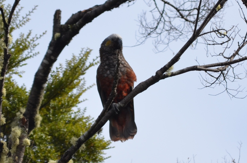 Kaka in the campground