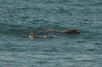 Bottlenose Dolphins near Pfeiffer Beach