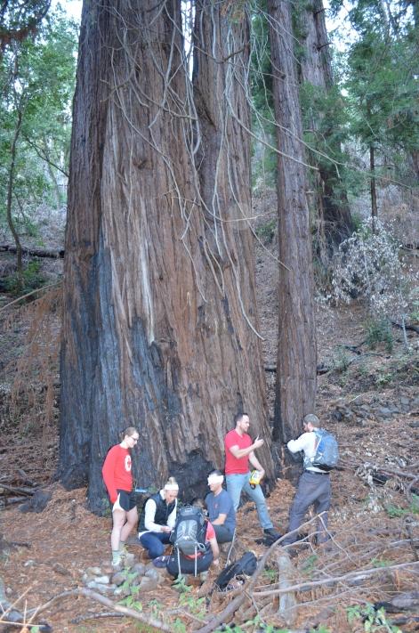 Scenarios under the Redwoods