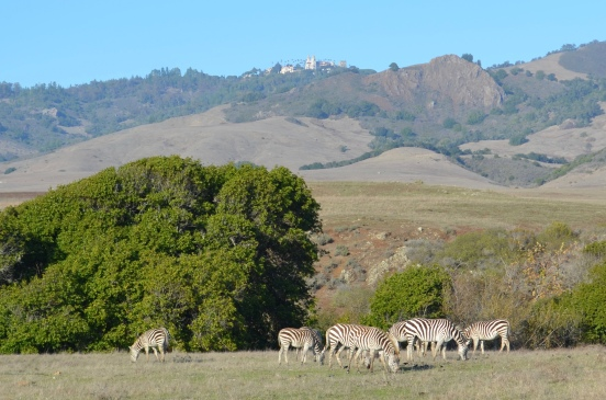 Zebra herd at Hearst Ranch