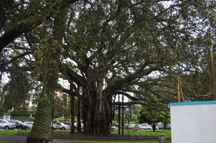 Ficus tree by the Davenport Public Library