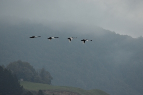 Black Swans flying over Lake Okareka