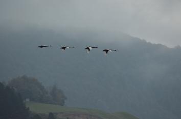 Black Swans flying over Lake Okareka