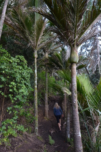 Hiking under the nīkau palms (Rhopalostylis sapida)
