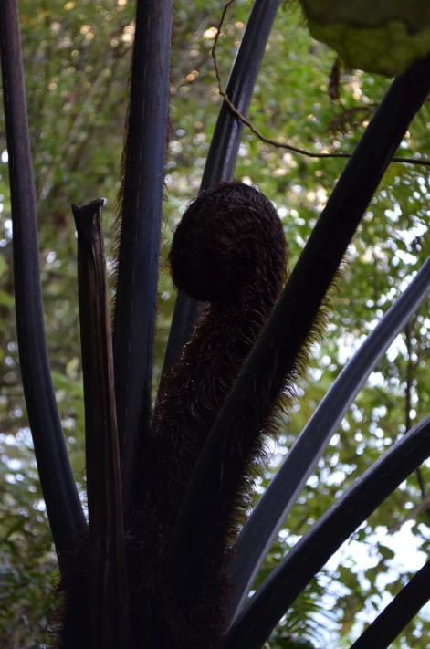 black tree fern (Cyathea medullaris)