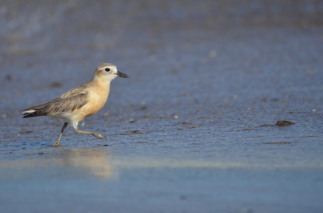 New Zealand dotterel (Charadrius obscurus)