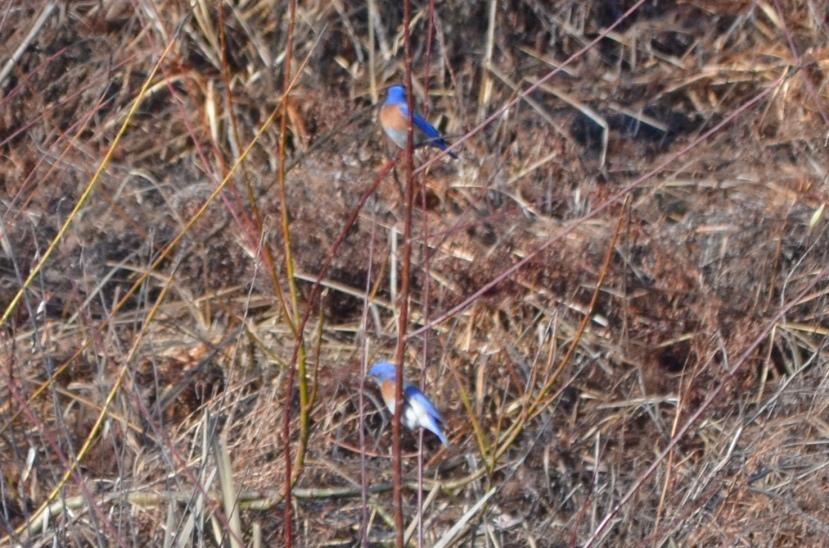 Western Bluebird (Sialia mexicana)