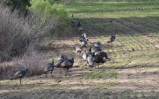 Wild turkeys walking off to greener pasture
