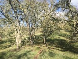 Moss covered oaks