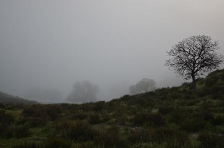 Oaks in the morning fog