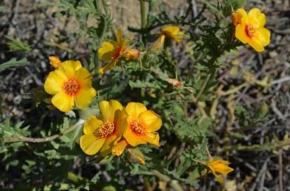 Mentzelia pectinata (San Joaquin Blazingstar)