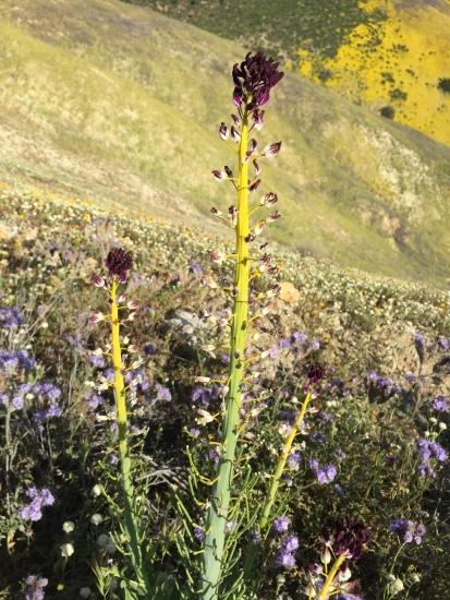 Caulanthus inflatus (Desert Candle)