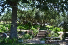 Olive grove planted in the mid 1800's