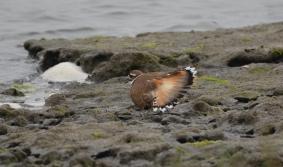 Killdeer plumage (Charadrius vociferous)