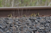 Looking for mom along the tracks