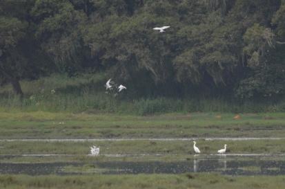 Terns in a feeding frenzy
