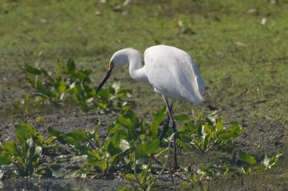 Snowy Egret (Egretta hula) on the hunt
