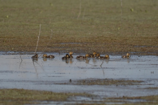Ducklings swimming in a puddle