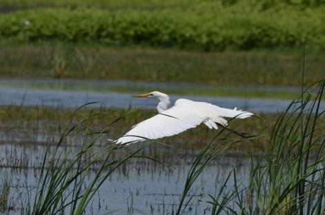 Snowy Egret (Egretta hula) in flight
