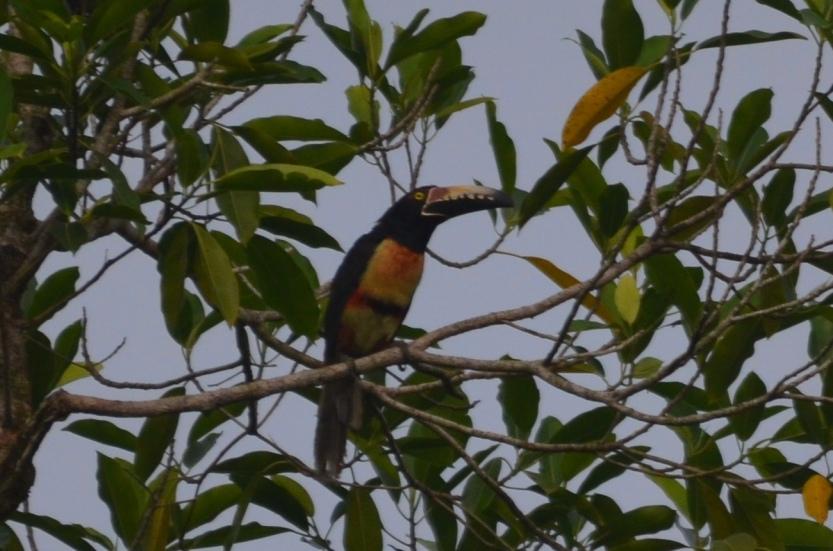 Pteroglossus torquatus (Collared Aracari) 001