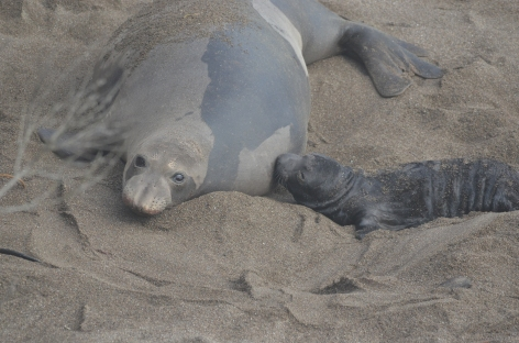 Northern elephant seal and pup