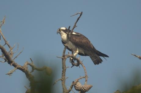 Pandion haliaetus (Osprey) standing on a Monterey pine snag.