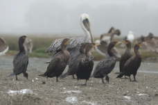 Cormorants and Pelicans on the shore