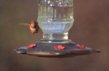 Selasphorus rufus (Rufous Hummingbird)