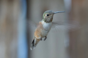 Calypte anna (Anna's Hummingbird) I believe