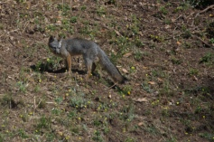 Gray fox visiting just as we were leaving