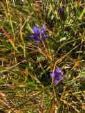 Gentiana calycosa (Mountain Bog Gentian)