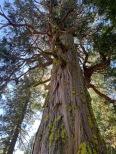 Old growth cedar